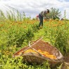 Calendula bio zonnemaceraat...