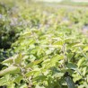 Monarda (bergamotplant) bio...